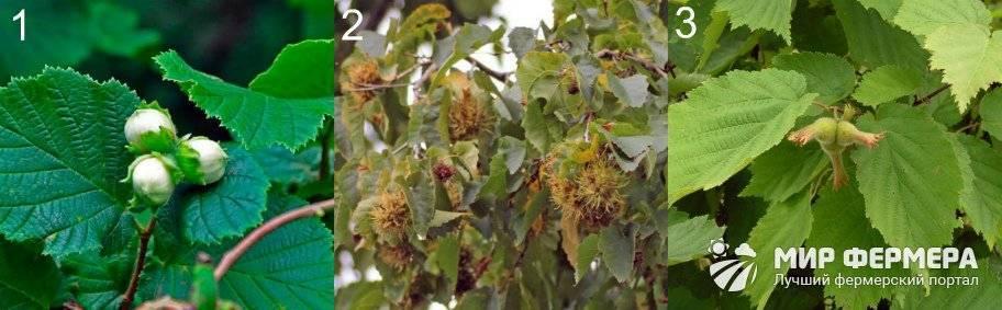 Лещина обыкновенная, орех или фундук — как вырастить орешник на даче
