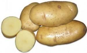 Забытый сорт картофеля ласунок