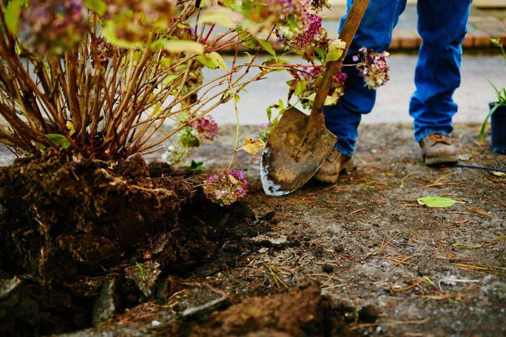 Посадка гортензии весной в открытый грунт