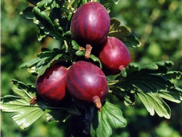 Крыжовник черносливовый: описание и особенности выращивания сорта