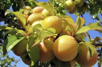 Абрикос медовый: описание и рекомендации по выращиванию