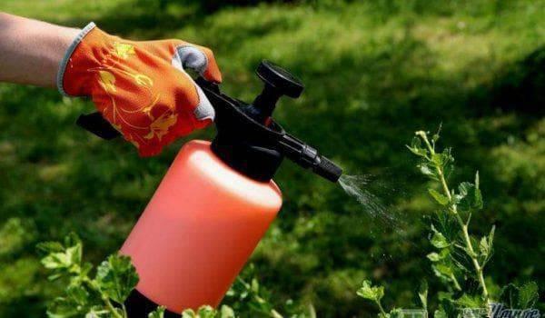 Побороть тлю поможет обычная сода!