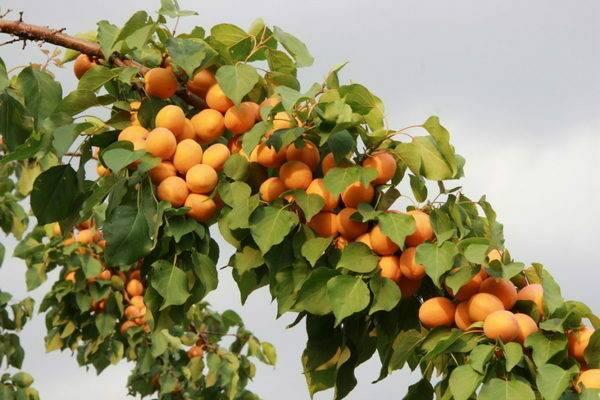 Абрикос хабаровский — неприхотливый и урожайный