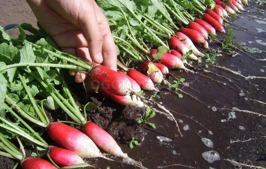 Редис престо: описание сорта, фото, отзывы, выращивание