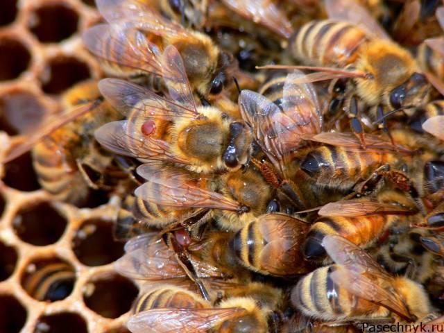 Бипин для пчел: как и когда нужно обрабатывать?