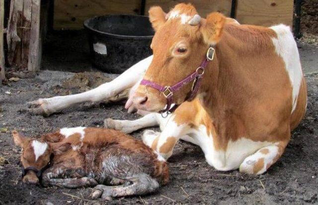 Почему корова после отела плохо ест: что делать, причины