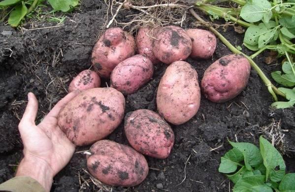 "Сорт картофеля ""манифест"""