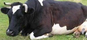 Послеродовой парез у коров: симптомы и лечение