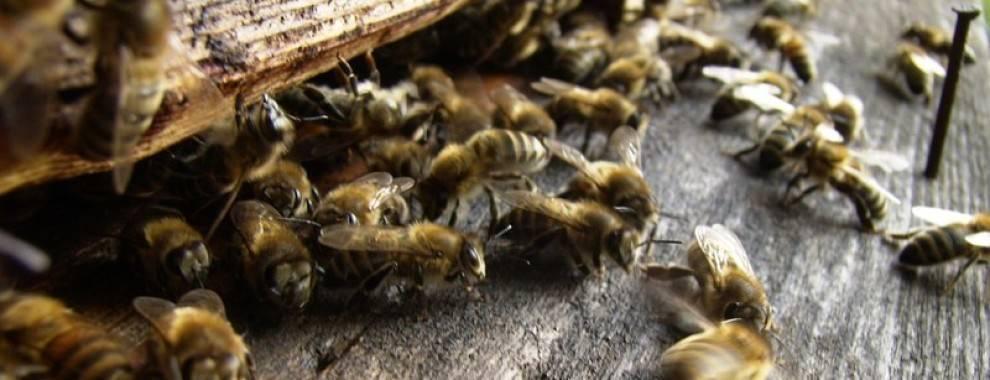 Пчелиный подмор рецепты для суставов на водке