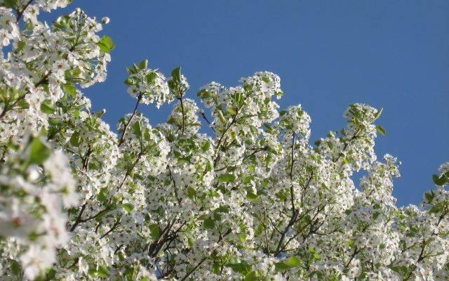Груша радужная: фото, отзывы садоводов, морозостойкость, опылители