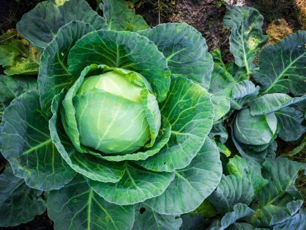 Сорта капусты для хранения зимой в свежем виде: отзывы + фото