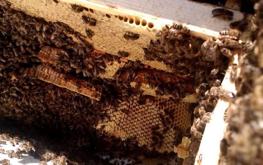 Почему пчелы осенью улетели из улья. почему пчелы улетают из улья осенью