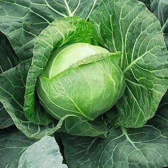 Высокоурожайный сорт капусты «белорусская»: описание и характеристика
