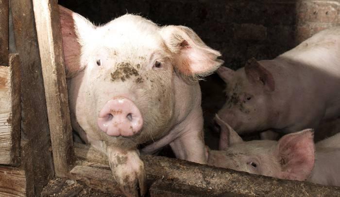 Какова рентабельность свиноводства?