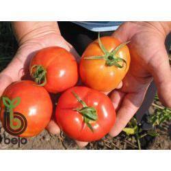 Описание сорта томата кистевой f1, его характеристики и отзывы
