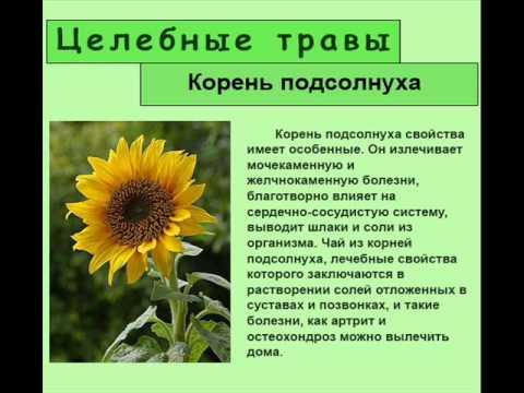Лечебные свойства корня подсолнуха делают его незаменимым в лечении многих заболеваний.