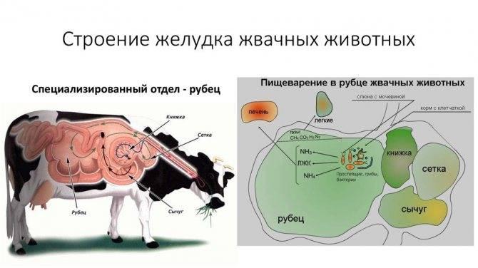 Завал книжки у коровы: причины, основная симптоматика, методы лечения