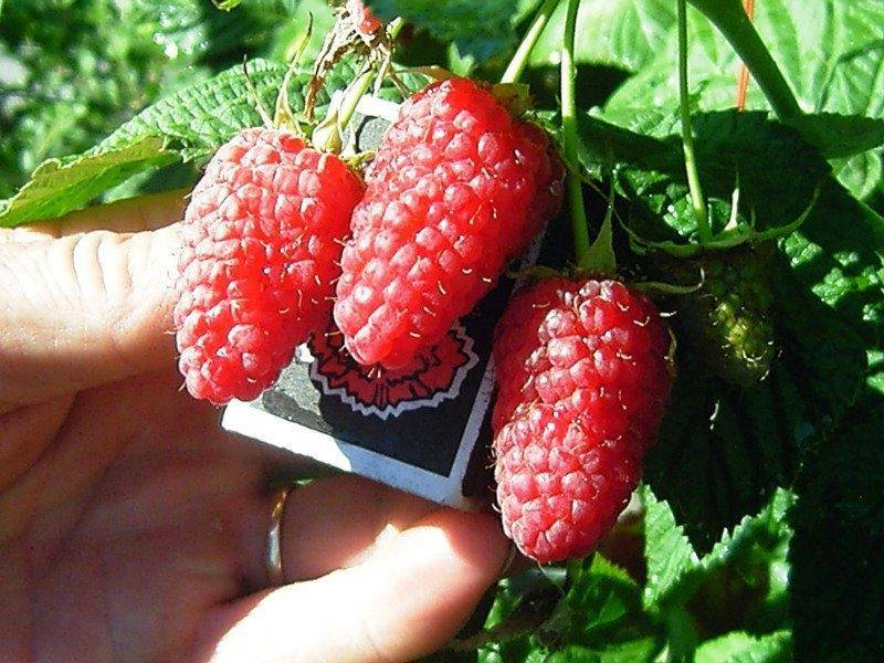 Характеристика и описание малины «краса россии»