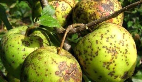 Чем обработать яблоню от парши осенью. как бороться с паршой