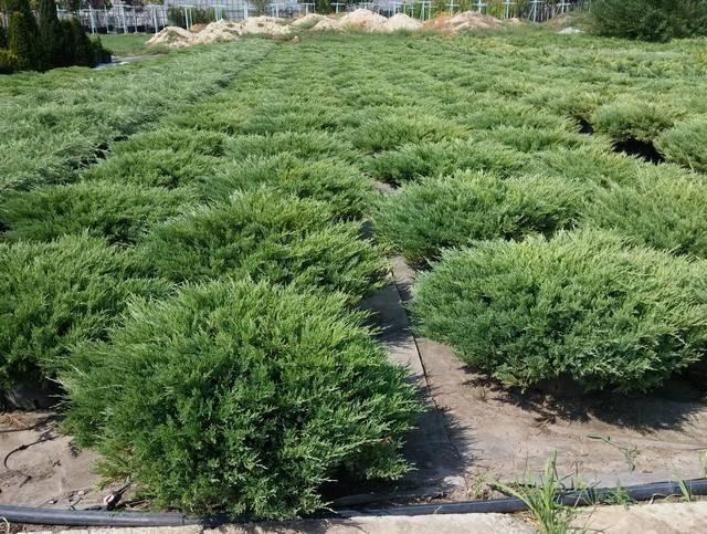Можжевельник казацкий: как садить и ухаживать за хвойным кустарником
