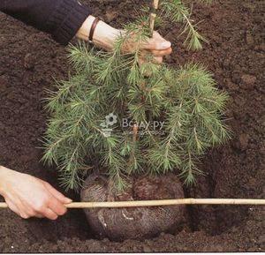 Пересадка сосны весной и осенью из леса на свой участок