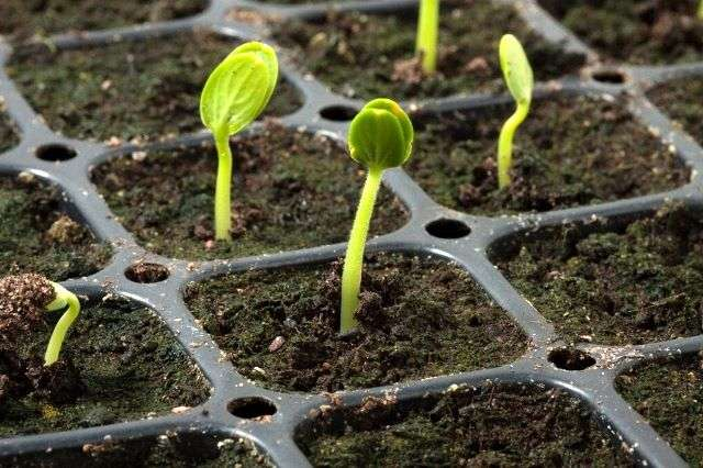 Сроки и правила посадки арбуза на рассаду и уход (+пошаговое фото посева)
