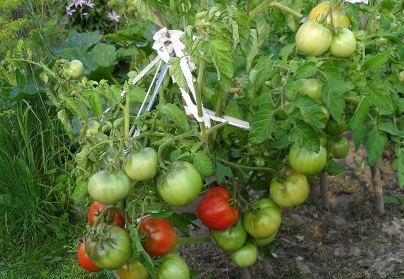 Характеристика и особенности выращивания томата дубрава