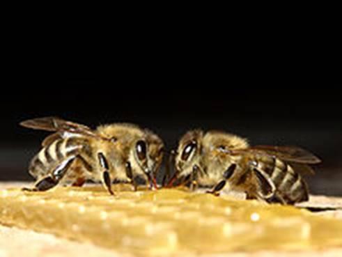 Гнилец у пчел: признаки и лечение