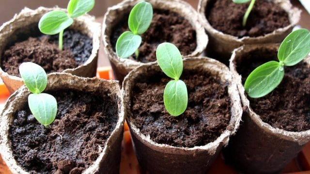 Описание сорта огурцов диригент f1, его урожайность и выращивание
