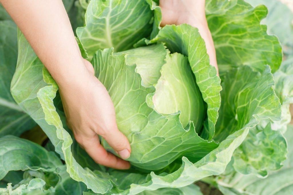 Все подробности о выращивании капусты ринда f1