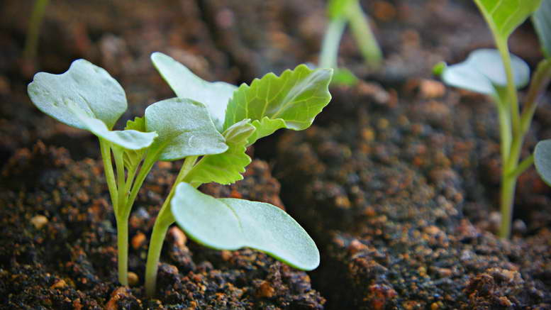 Как и когда сажать семена капусты на рассаду, ухаживать, пикировать