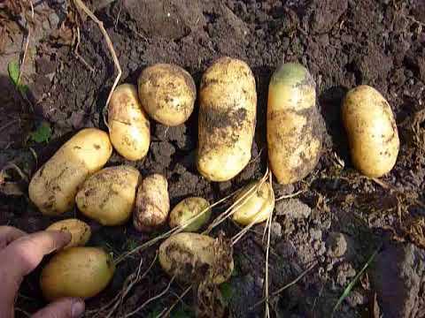 Описание сорта картофеля королева анна — как поднять урожайность