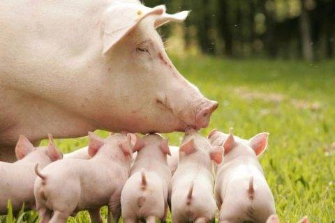 Как понять, что свинья беременна, и как долго длится ее беременность?