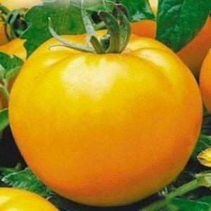Сорт томата «малиновый гигант»: описание, характеристика, посев на рассаду, подкормка, урожайность, фото, видео и самые распространенные болезни томатов