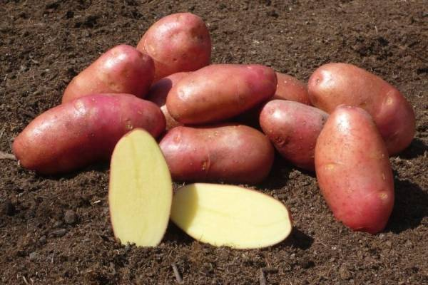 Описание сорта картофеля манифест, его характеристика и урожайность