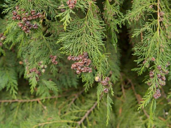 Кипарисовик лавсона 'алюмии', описание, фото, условия выращивания, уход