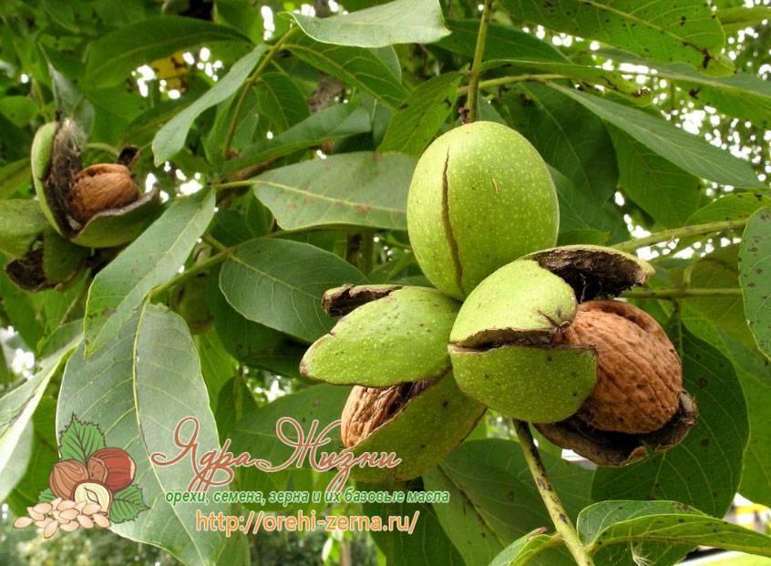 Что делать, если грецкий орех не плодоносит?