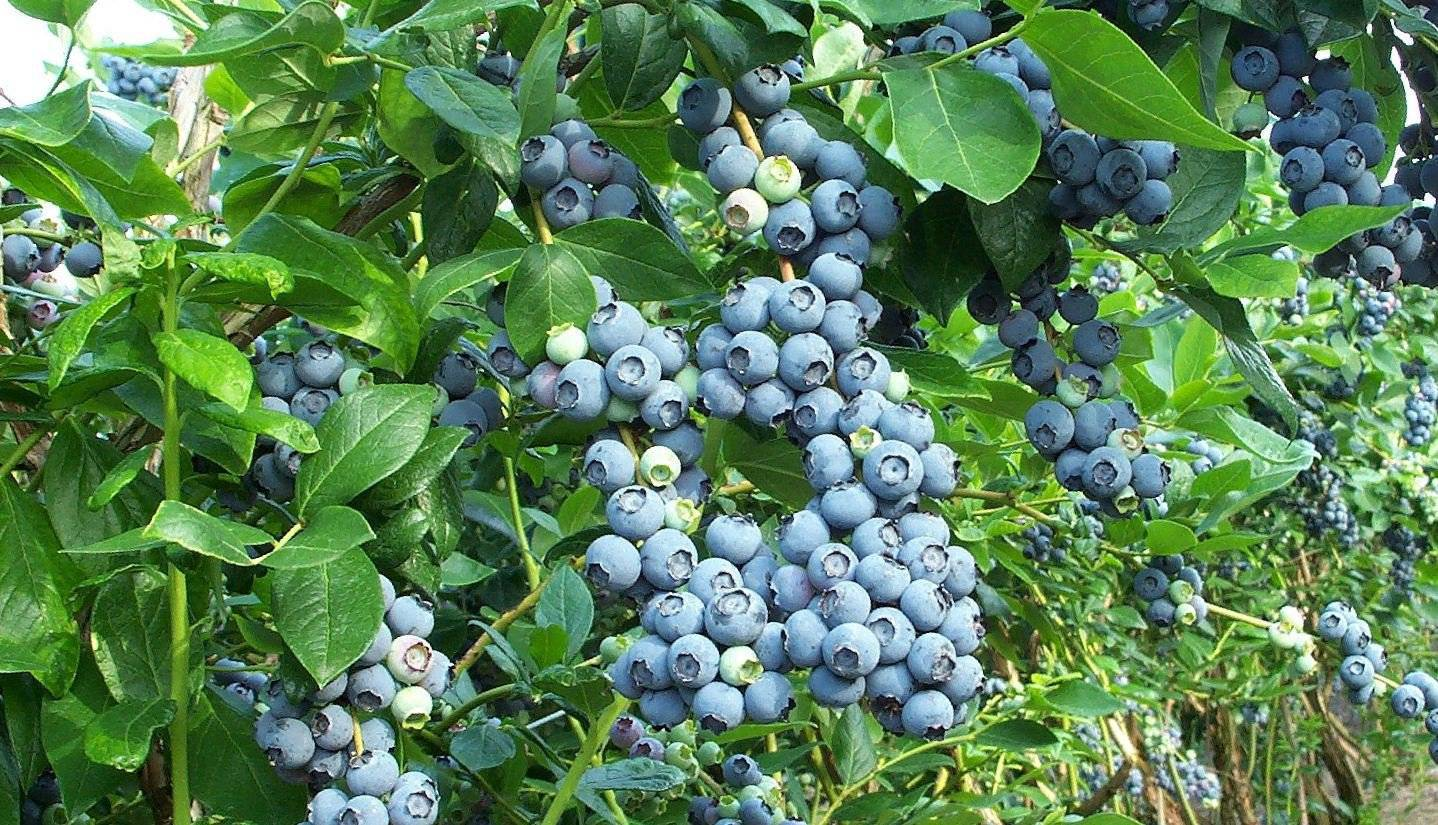 Голубика кантри (норт кантри, north country): описание сорта, фото, отзывы