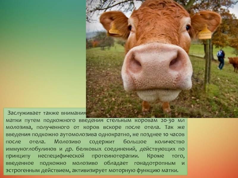 Эндометриты у коров: причины, лечение, патогенез и клинические признаки. | ветеринарная служба владимирской области