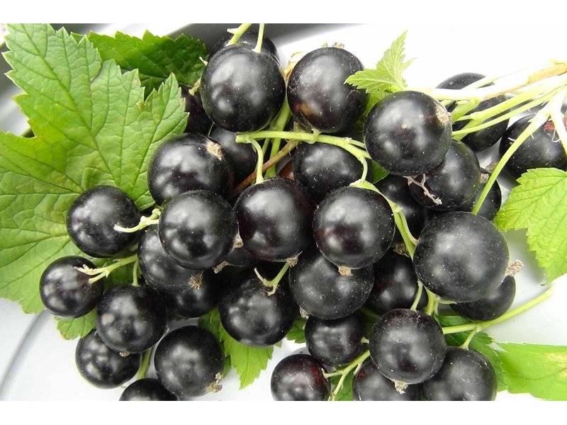 Черная смородина Деликатес: фото, посадка и уход, выращивание