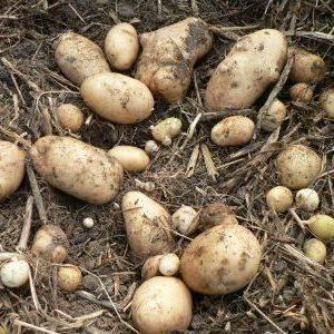 Сорт картофеля венета (винета) – описание и фото