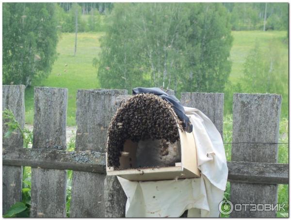Особенности «апимакса» для пчёл