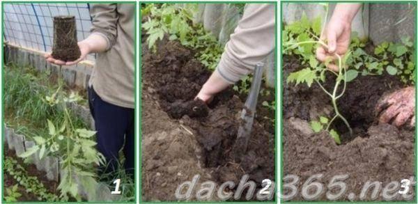 Выращивание томатов на урале в теплице: как происходит посадка помидоров и какой уход им нужен, какова урожайность?