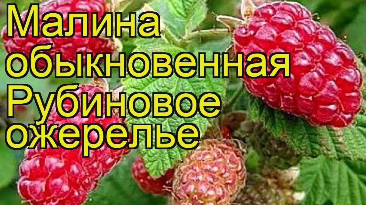 Характеристика и описание малины «рубиновое ожерелье»