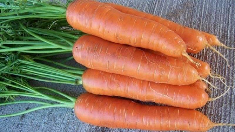 Морковь лосиноостровская 13 — описание сорта, особенности выращивания