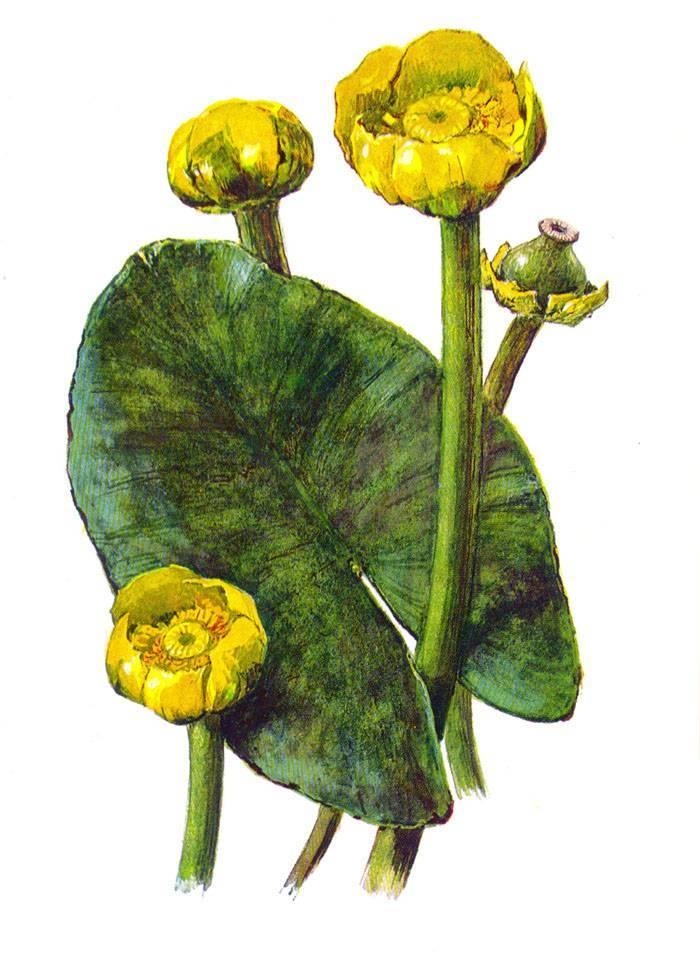 Colchicum speciosum steven описание таксона
