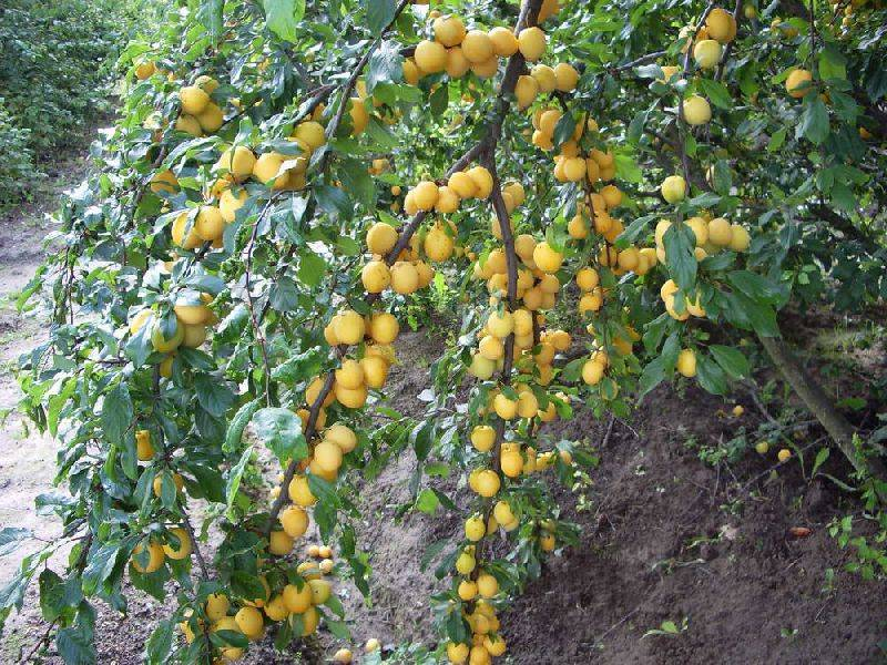 Особенности выращивания абрикосовой сливы
