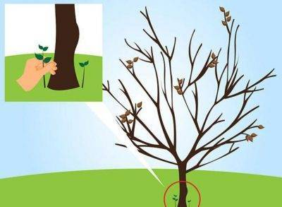 Как правильно посадить саженцы черешни осенью