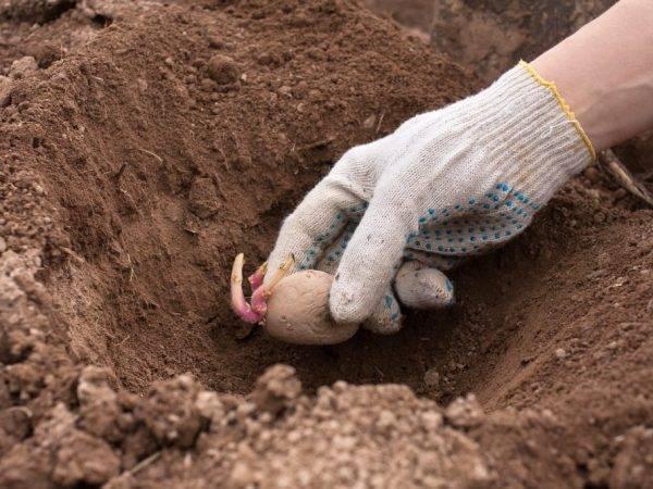 Сорт картофеля «ирбитский» – описание и фото