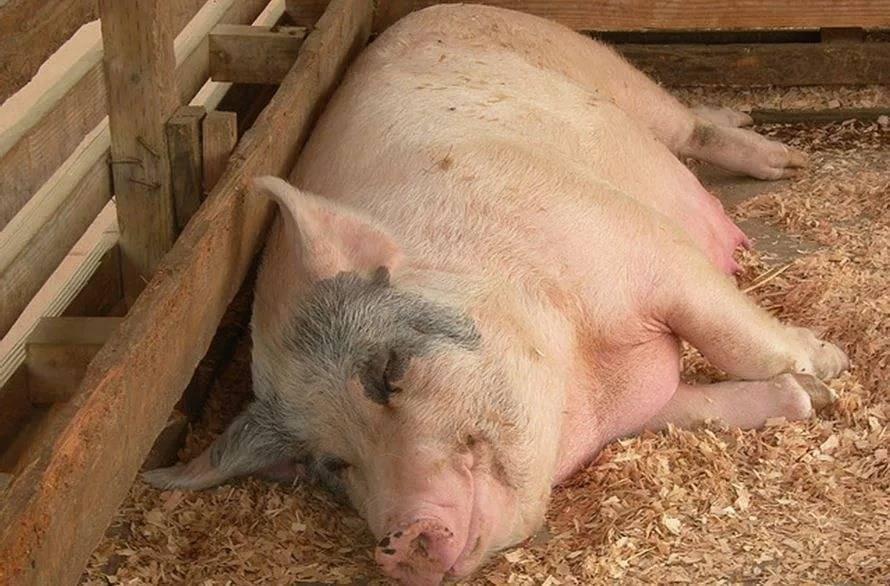 Биология и техника размножения свиней